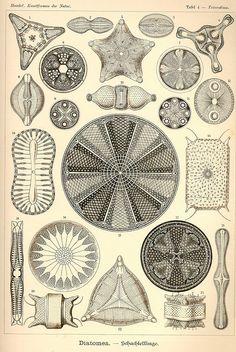 Ernst Haeckel ~ Art Forms in Nature / Sacred Geometry ~ Diatoms such as in Diatomaceous Earth Art Et Nature, Nature Prints, Art Prints, Nature Study, Nature Decor, Illustration Botanique, Botanical Illustration, Botanical Drawings, Abstract Drawings