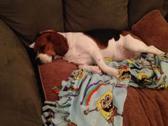 Lazy beagle - this one likes blankies too!