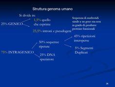 slide_26.jpg (1015×772)  DNA ripetitivo non codificante: il più abbondante è il DNA a sequenza semplice, il quale consiste in piccole sequenze (poche decine di basi) ripetute moltissime volte. Complessivamente questo DNA ripetitivo costituisce il 3% dell'intero genoma. Queste sequenze sono più concentrate in regioni particolari, come i centromeri o le regioni subtelomeriche e possono essere utilizzate come marcatori. Trattiamo ora le sequenze intersperse, queste sono sparse per tutto il…