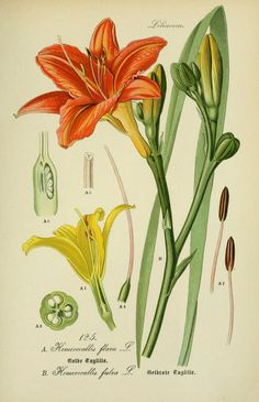 The Biodiversity Heritage Library works collaboratively to make biodiversity literature openly available to the world as part of a global biodiversity community. Botany Illustration, Science Illustration, Floral Illustrations, Vintage Botanical Prints, Botanical Drawings, Botanical Flowers, Botanical Art, Plant Drawing, Day Lilies