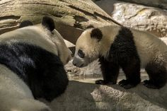 Bai Yun and her son Xiao Liwu at the San Diego Zoo on April 9, 2013.