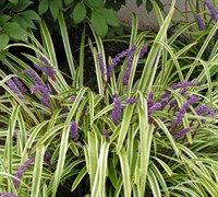 Everywhere @ Jean's. - The Variegated Liriope spouts pretty violet flowers and is low care! #garden #plants