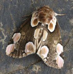peach blossom moth - Google Search