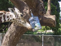 Giraffe Treat Jar Enrichment - Animal Enrichment : Honolulu Zoo