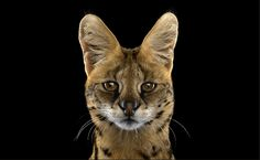 Arrestingly Beautiful Portraits of Exotic Animals Staring Directly at the Camera...