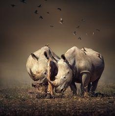 Two white Rhinoceros in the field with birds flying (Digital art)