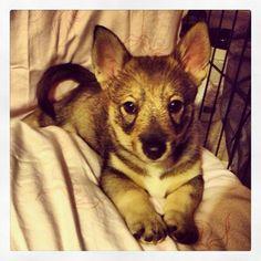 västgötaspets, swedish vallhund, wolf corgi, viking dog - Elliott modeling 10 weeks old