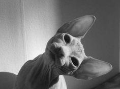 Sphinx cat, my fav