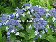 Hydrangea macrophylla 'Izu no hana', Dan's collection