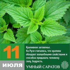 На Руси считалось, что крапива обладает волшебными свойствами и способна придавать человеку силу, бодрость. Поэтому, старались ее заготавливать впрок и собирали крапиву как раз в день 11 июля, поскольку полагали, ...