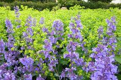 Jättedaggkåpa + Kantnepeta (Nepeta x faassenii 'Walker´s Low'). Zon: 6 Läge: Sol till halvskugga Jord: Torr Höjd: 60-70 cmFörökning: Frön ,delning Blomtid: Juni-augusti Skyddas mot vinterfukt.