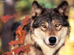 Animal Spirit Guide Meaning & Interpretation: The Wolf