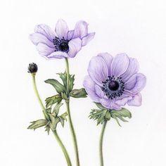 4 vind-ik-leuks, 1 reacties - Kim, Narae (@kimnaraeworks) op Instagram: '#아네모네 #anemone #botanicalart #식물세밀화 #보태니컬아트 #꽃그리기 #coloredpencils #색연필일러스트 #취미미술 #원데이클래스 #관찰드로잉' Botanical Flowers, Botanical Prints, Flowers Garden, Exotic Flowers, Fresh Flowers, Purple Flowers, Anemone Flower, Flower Art, Cactus Flower