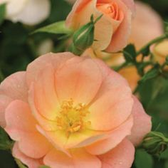 Looking for peach roses for the garden.Oso Easy® Peachy Cream Rose (Rosa x 'Horcoherent' P. - Monrovia - Oso Easy® Peachy Cream Rose (Rosa x 'Horcoherent' P. Landscaping With Roses, Landscaping Plants, Garden Plants, Fairy Gardening, Flower Gardening, Beautiful Roses, Colorful Flowers, Beautiful Flowers, Romantic Flowers