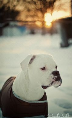 Beautiful white Boxer ---- Love Your Boxer?? Visit our website now!