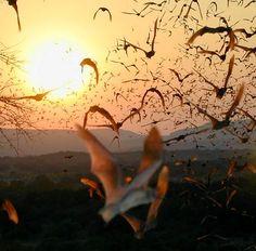Mexican Freetail Bats that hang out under the Congress Street Bridge, Austin TX