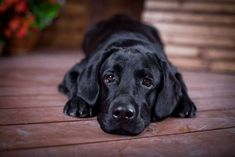 Beautiful Black Labrador Retriever - find here... www.fundogpics.com/black-labrador-retriever-pictures.html