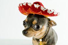"""Fiara"" din Mexic: Chihuahua | Totul despre animale"