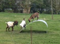 When some Goats find a flexible steel ribbon