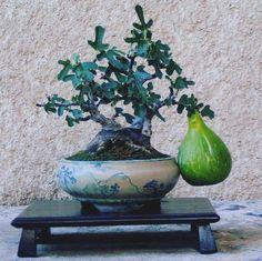 Ficus carica #abcdobonsai #bonsai #frutiferas #ficus #figo #show