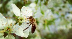 Bee on lovely blossom