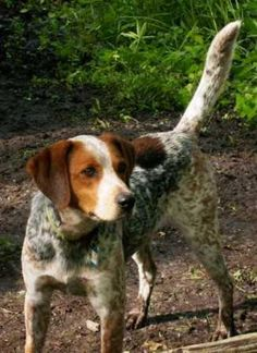 red tick coonhound | Bluetick Coonhound/English Coonhound Mix: A dog with an adoption ...