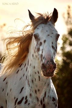 What a fine looking Leopard Appy!