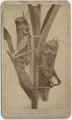 Antique photo of locusts from the 1873 to 1877 Minnesota grasshopper plague that destroyed two years of the Ingalls crops, prompting them to leave the prairie.