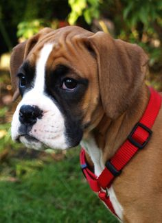 Sweet gentle Boxer, such soulful eyes!
