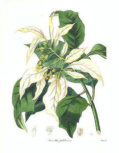 The Botanist Magazine Showy Poinsettia... - still life quick heart