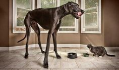 The world's largest dog was a Great Dane named Zeus. Zeus lived to be five years old. Zeus stood 3 feet 8 inches tall and weighed 150 pounds. Giant Animals, Large Animals, Pet Dogs, Dogs And Puppies, Dog Cat, World's Tallest Dog, Great Dane Names, Worlds Largest Dog, Huge Dogs