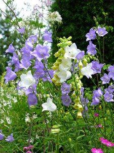 campanula-persicifolia-e-digitalis-lutea
