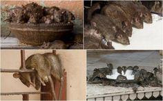 Karni Mata Rat Temple at Deshnoke, India https://plus.google.com/+KevinGreenFixedOpsGenius/posts/KkG3B1t1tEY