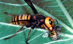 An Asian hornet (vespa mandarinia) eats a honeybee. The sting of the highly venomous giant hornet, which measures about the size of a human thumb!!.