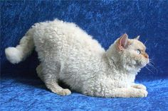 New cat breed, Selkirk Rex, genetically different from other curly-haired cats