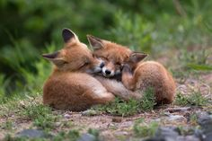 Red Fox Cubs by Topi Lainio on 500px