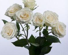 white garden spray roses