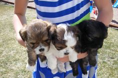 triplets, these are the most wonderful little dogs