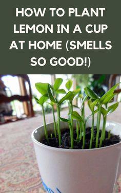 Planting Lemon Seeds, Planting Flowers, Sprouting Seeds, Growing Lemon Trees, Growing Plants, Growing Greens, Growing Vegetables, Gardening For Beginners, Gardening Tips