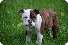 Minneapolis, MN - English Bulldog. Meet Jonah-Medical dog read bio, a puppy for adoption. http://www.adoptapet.com/pet/13253017-minneapolis-minnesota-english-bulldog