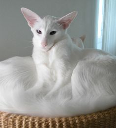 ~ Foreign White Balinese Cat ~ strangely regal