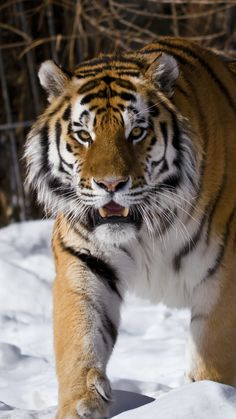 Siberian tiger, winter