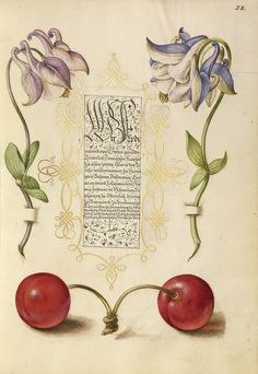 Joris Hoefnagel - European Columbines and Sweet Cherry, Mira calligraphiae monumenta, fols. 1-129 written 1561 - 1562; illumination added about 1591 - 1596