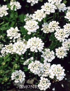 Purity Candytufts/ATTRACTS: Butterflies. Perfect to drape over rock walls and between stones. Plant several around a shrub.