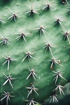 unbleachedlinen: Close up green cactus plant with thorns By AlejandroMCBAvailable to license exclusively at Stocksy