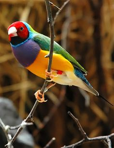 Gouldian Finch in the Wilhelma Zoo, Stuttgart, Germany