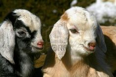 nubian goat kids - i want one