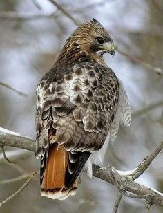 Red-tailed hawk by Steve Courson - There are a lot of these around our area. Such beautiful birds! Kinds Of Birds, All Birds, Birds Of Prey, Love Birds, Pretty Birds, Beautiful Birds, Animals Beautiful, Exotic Birds, Colorful Birds