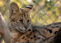 African Serval Cat by LeahStewart