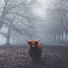 Snapwire Custom Photos, Highland cow, wild, fierce by Ali Dover Scottish Highland Cow, Highland Cattle, Farm Animals, Animals And Pets, Cute Animals, Pretty Animals, Uk Landscapes, Beautiful Landscapes, Pop Photos